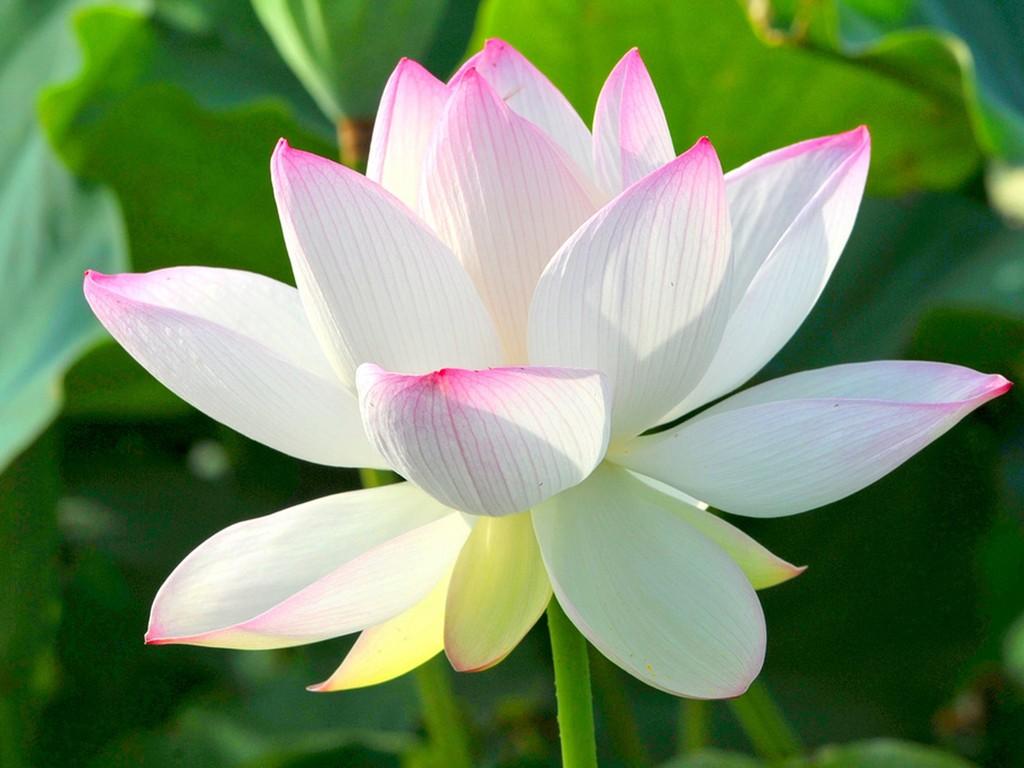 Hoa sen thường dùng để dâng lên Phật, dâng lên tổ tiên nên không thích hợp để tặng bạn gái