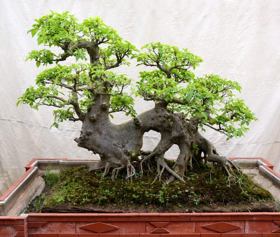 Chọn một cây Bonsai đẹp sẽ là món quà tặng bố