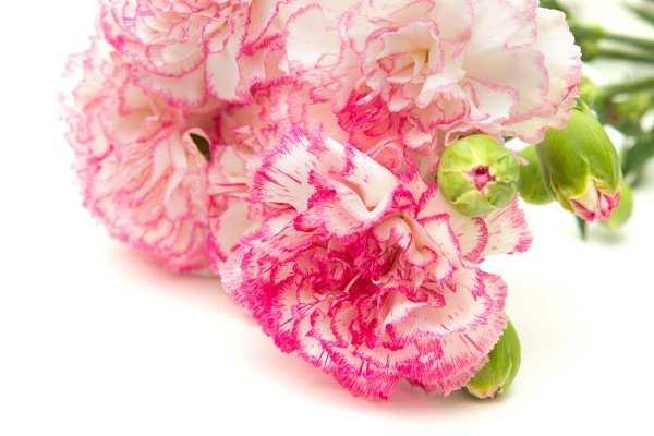Thông thường hoa cẩm chướng sẽ thể hiện cho tình bạn hơn là tình yêu