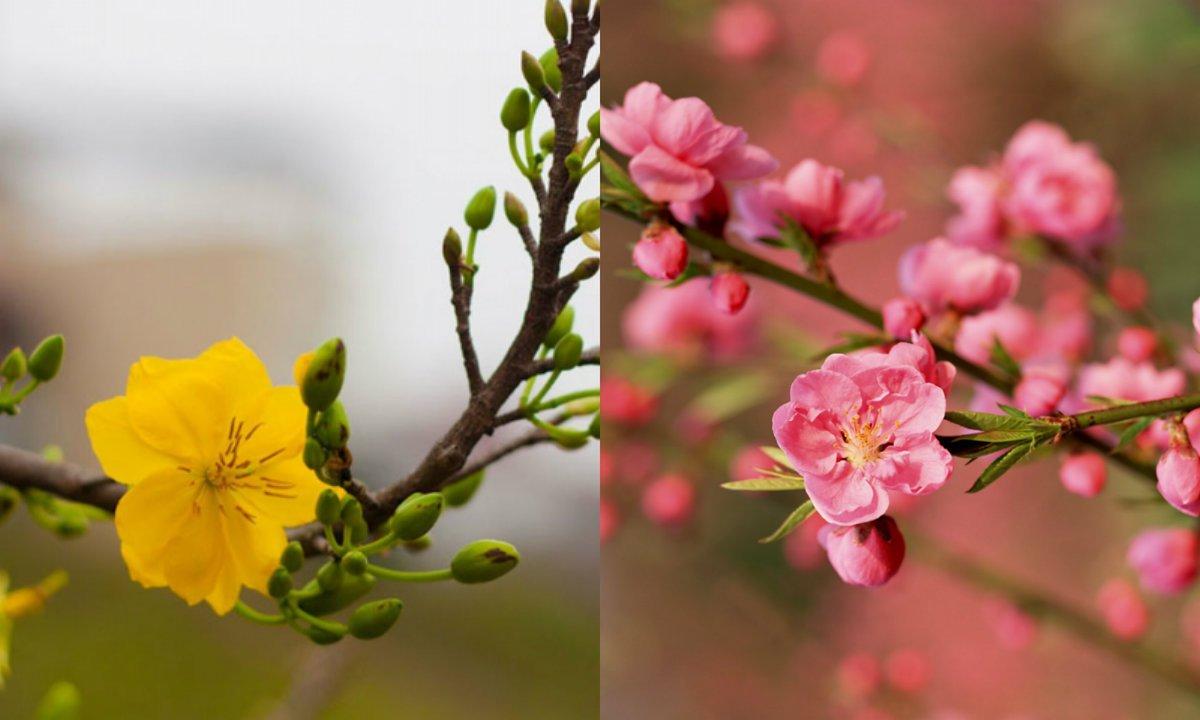 Hoa mai và hoa đào