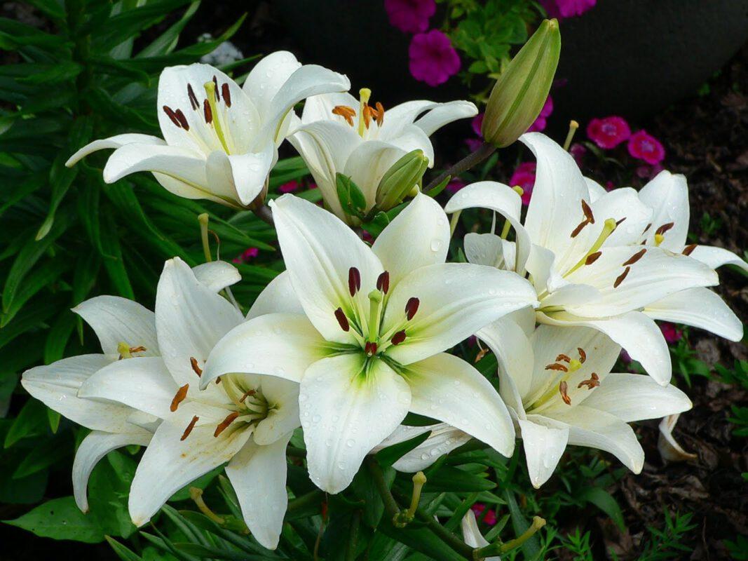 Hoa huệ biểu trưng cho niềm thú vị nguy hiểm, sự khao khát về vật chất