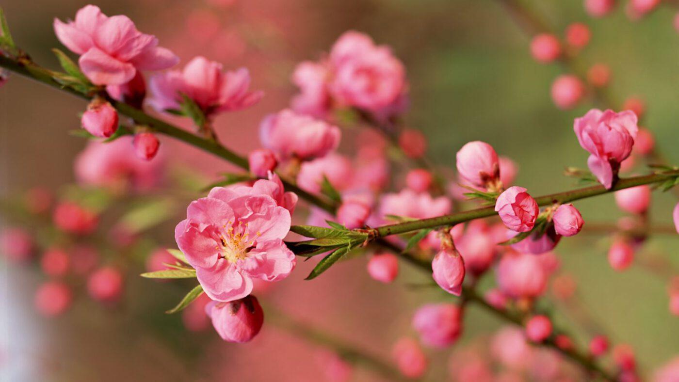Dùng B1 - Cách làm cành đào nở hoa nhanh