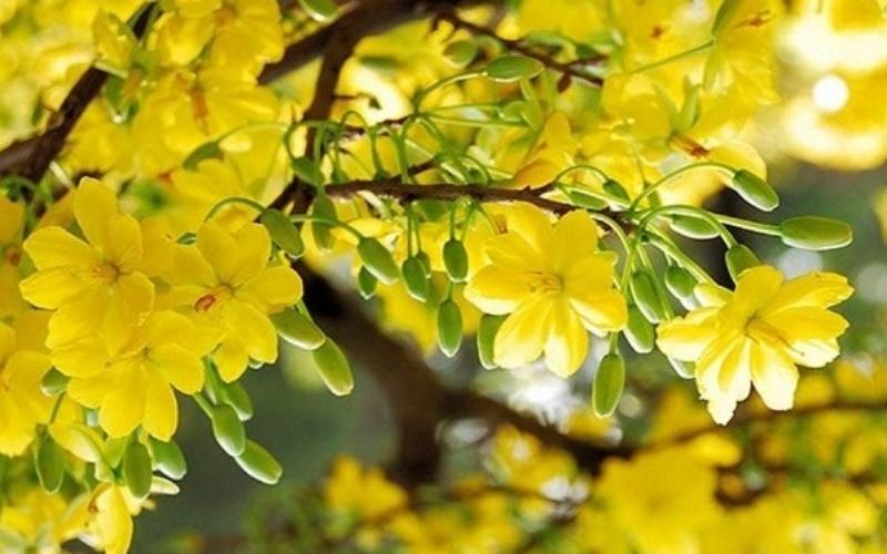 Ý nghĩa của hoa mai vàng tượng trưng cho sự giàu sang, phú quý