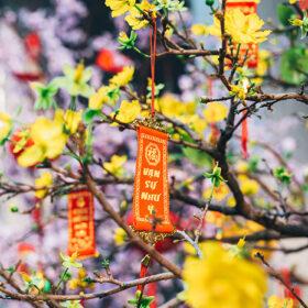 Nguồn gốc, Ý nghĩa, Công dụng, Cách trồng hoa mai ngày tết ít ai biết
