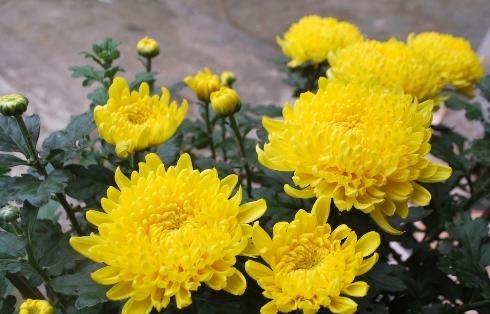 Hoa cúc tượng trưng cho sự trường thọ