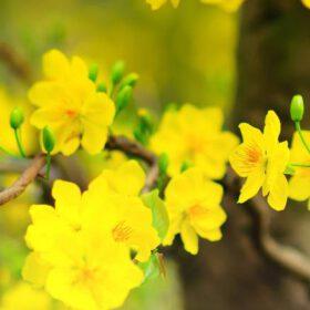 7 Cách làm hoa mai nở sớm nhất - Nụ hoa mai nhanh nở kịp tết 2022