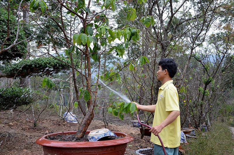 Tưới nước ấm cho cây mai- cách làm cho hoa mai nở nhanh